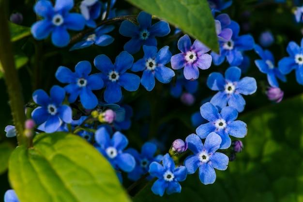 マクロでbrunnera macrophyllaの美しい花序