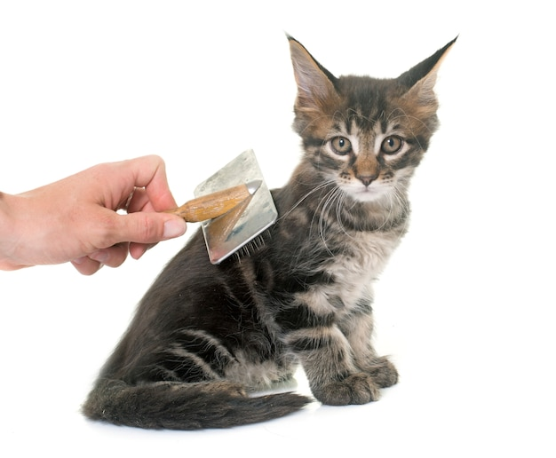 Brushing maine coon kitten