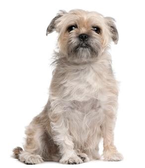 グリフォンbruxellois、4歳。分離された犬の肖像画