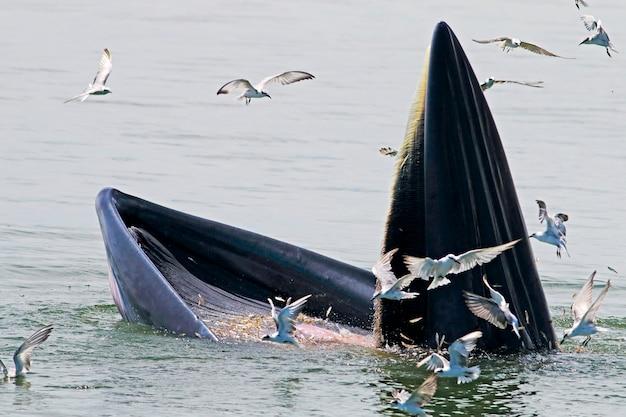 Bryde's whale balaenoptera edeni eating fish