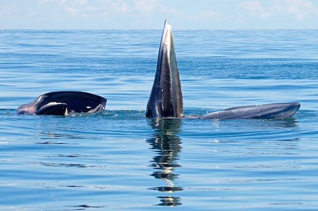 Bryde's whale balaenoptera edeni two big fishes in the sea