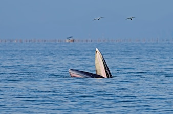 Bryde's Whale Balaenoptera edeni
