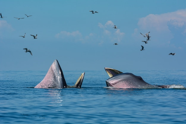 Bryde's whale or the bryde's whale complex  in the gulf of thailand.