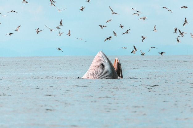 Bryde's whale, eden's whale, eating fish at gulf of thailand