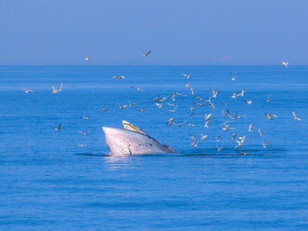 Bryde's whale hunting in gulf of thailand