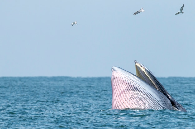 Купание брайдского кита в тайском море