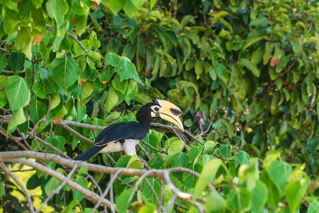 Птица-носорог из отряда bucerotiformes сидит на дереве в естественной среде обитания.