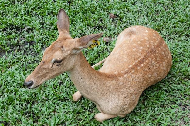 Самец оленя с оленем в дикой природе