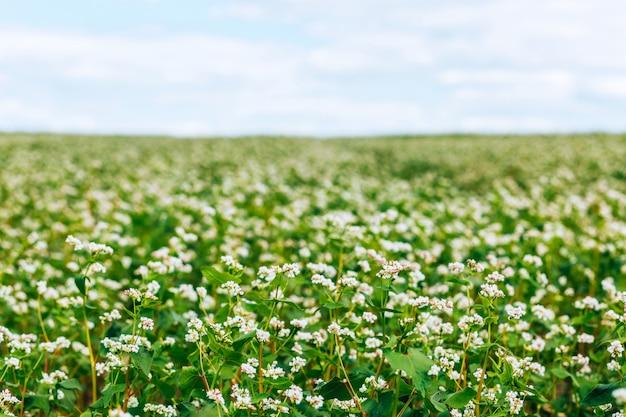 메밀 꽃. 메밀 밭. 농업 산업