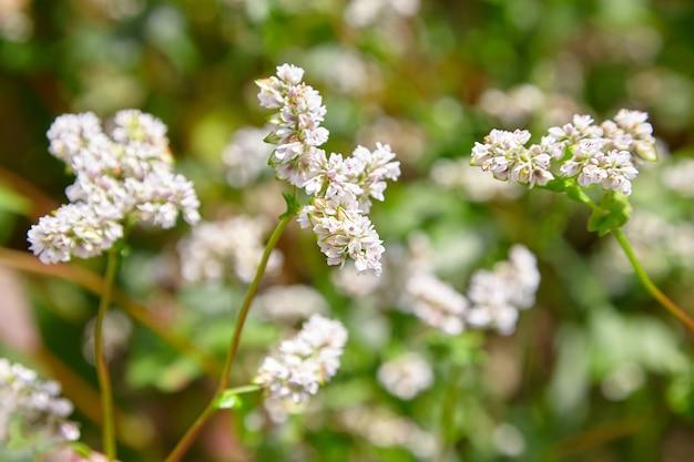 そば畑、農地。白い花、クローズアップ、選択的な焦点と開花ソバ植物