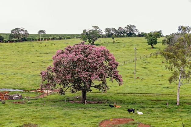 Bucolic landscape with pink flower tree and cattle resting on grass. minas gerais, brazil