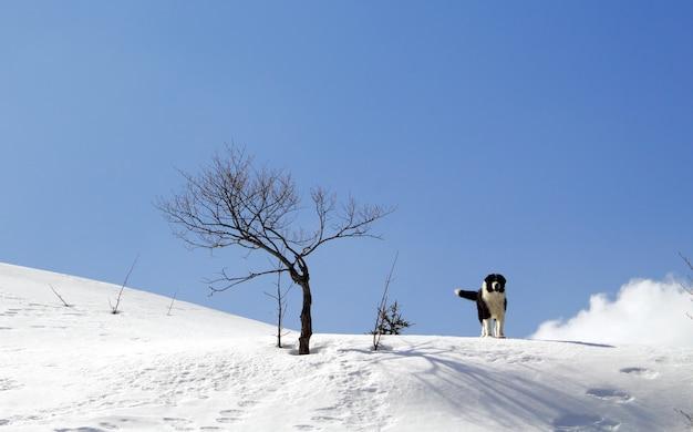 Cane da pastore della bucovina in piedi nella neve