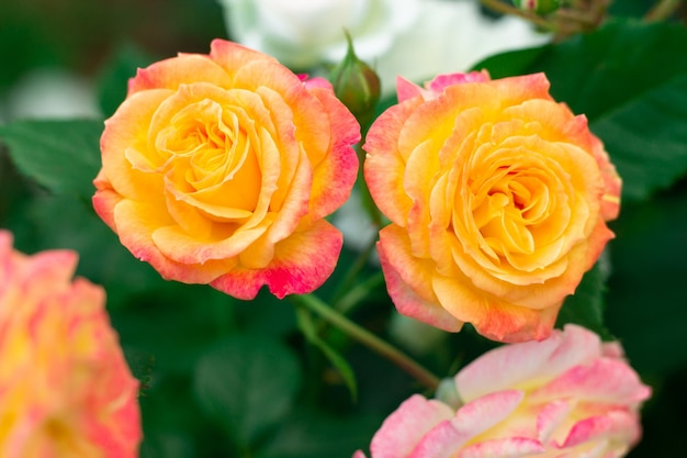 Бутон и цветок яркой желто-розовой розы