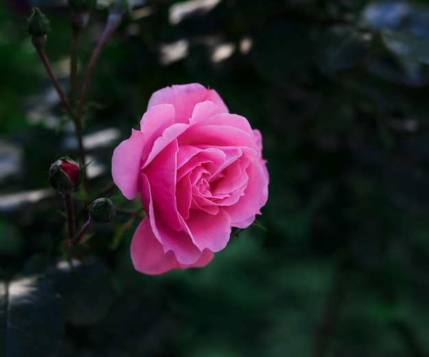 Bud of a blooming pink rose in the garden on a summer day