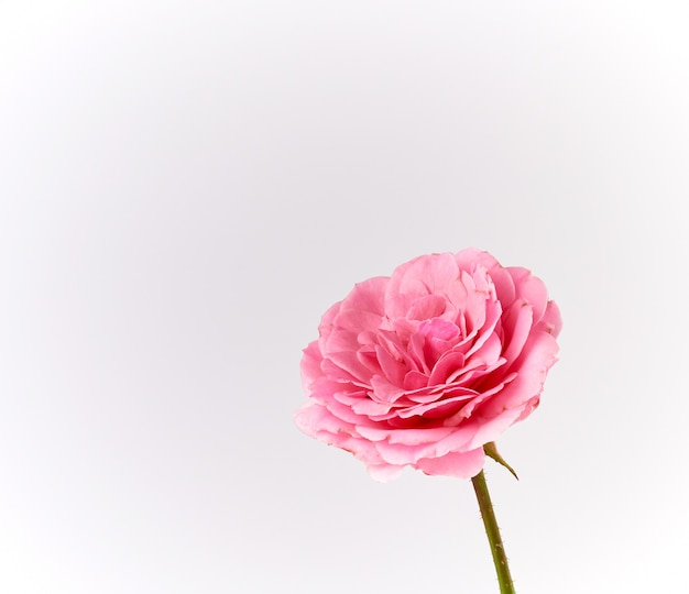 Bud of a blooming pink rose on a white background