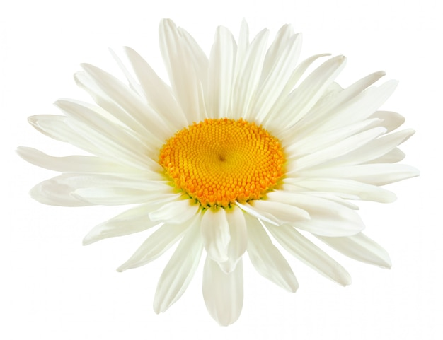 Bud of a daisy flower with white petals isolated