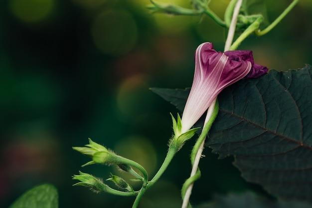 A bud of a dark violet petunia on a black leaf.