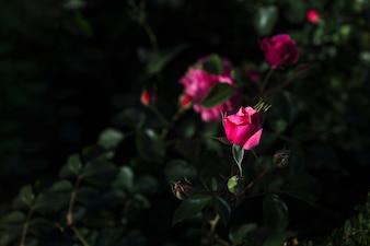 Bud of rose on bush