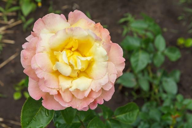 Бутон белой розы в саду с размытыми кустами на поверхности