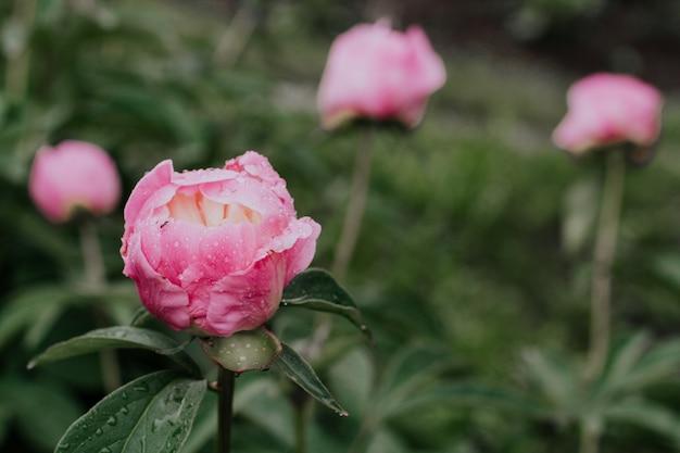 Bud of pink peony after rain. wet pink peony