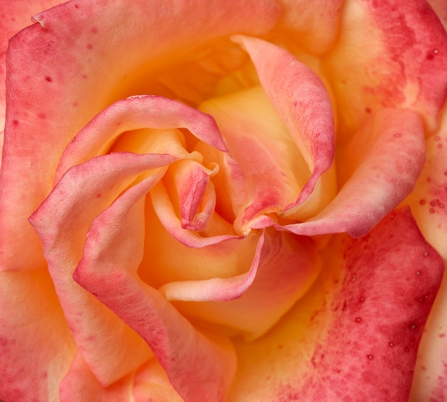 Bud pink-yellow blooming rose, top view