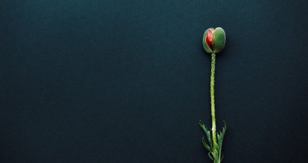 Bud of a poppy flower similar to a female organ vagina isolated on dark background, copy space
