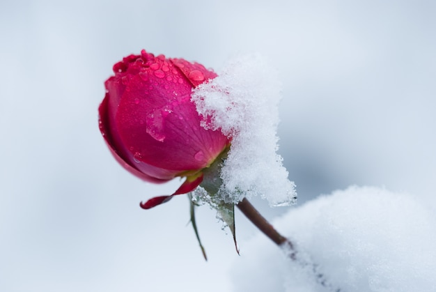 Bud of rose covered with snow, a sudden snowfall. rose flower in winter.