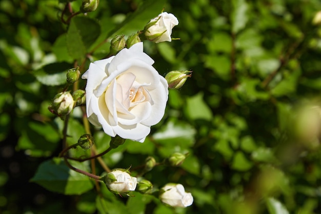 Bud of a white cream rose against a background of green bushes