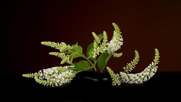Buddleja paniculata, цветы куста бабочки на черном фоне.