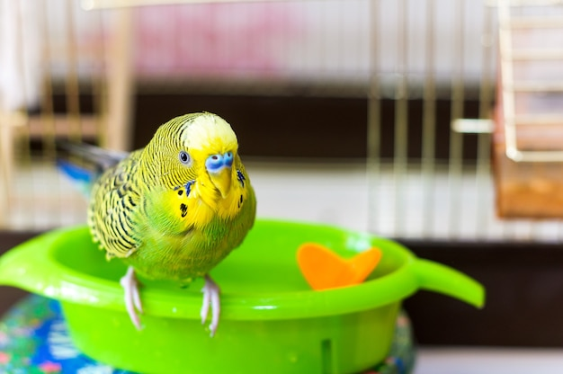 Волнистый попугайчик мокрый после купания