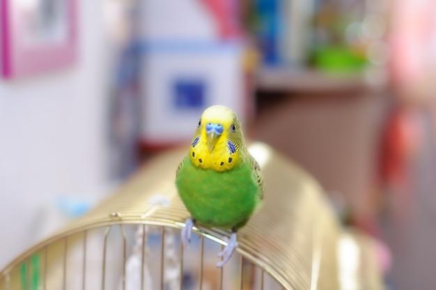 Волнистый попугайчик на птичьей клетке. budgy