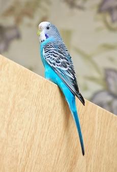 ドアに座っているセキセイインコ。美しい鳥。