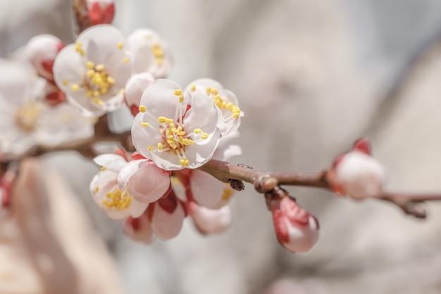 살구 나무의 꽃 봉오리와 개화 꽃