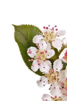 Бутоны цветущей аронии меланокарпа, изолированные на белой поверхности