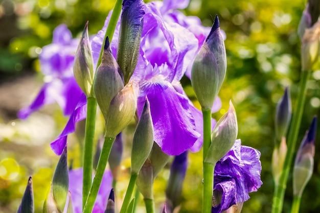 晴れた日に咲く菖蒲の花のつぼみ。夏の背景。コピースペース