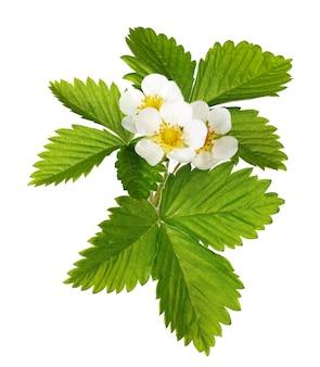 Бутоны цветущей клубники с листьями, изолированные на белом фоне