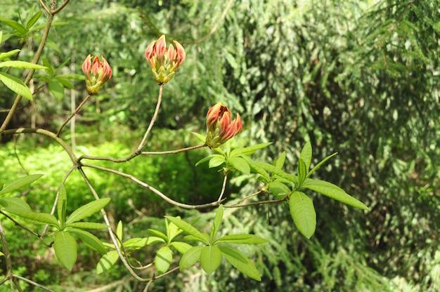 オレンジ色のシャクナゲの花のつぼみ