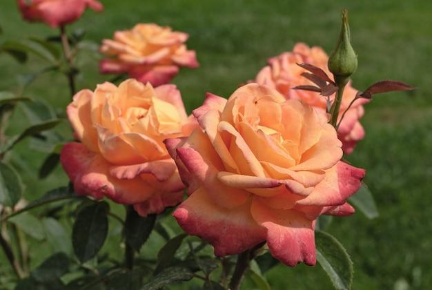 緑のぼやけた背景の花や植物にオレンジ色のバラの芽