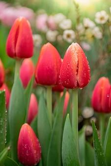 柔らかな光の中で新鮮な緑の葉と赤いチューリップの芽