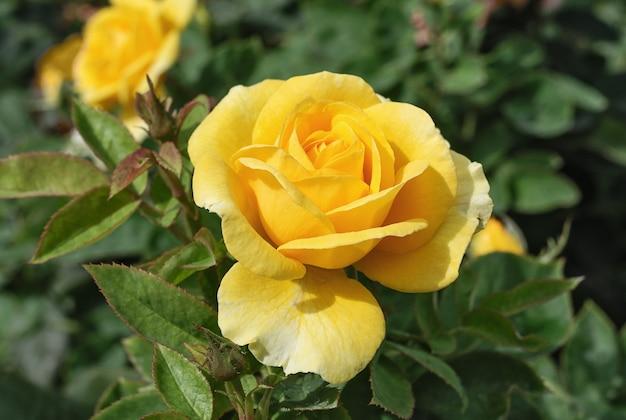 緑の背景に黄色のバラのつぼみ
