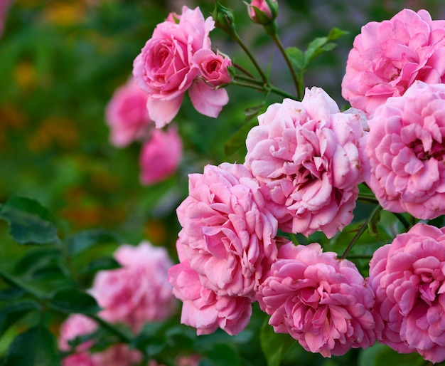 Buds of pink blooming roses in the garden