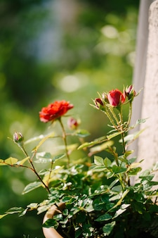 Buds of red roses and a loose flower in a flower pot.