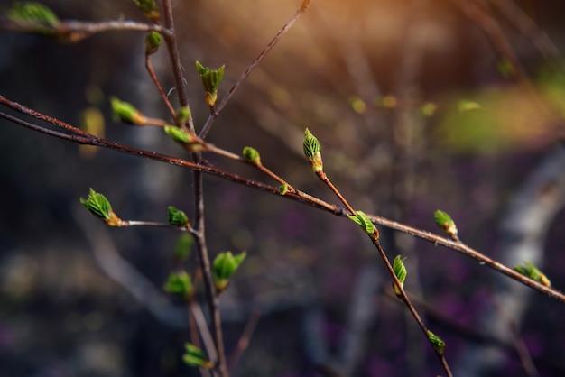 つぼみは枝、クローズアップ、ソフトフォーカスで膨らみます。開花の始まり。春のイメージ。