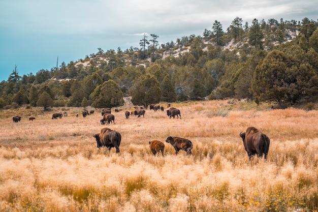 ユタ州ザイオン国立公園近くのバッファロー農場。アメリカ