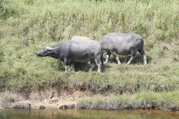 Разведение буйволов в сельской местности.