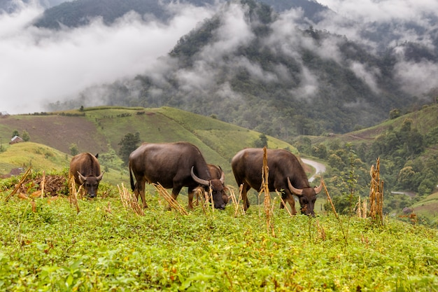 Buffalo graze on high mountain at mae la noi