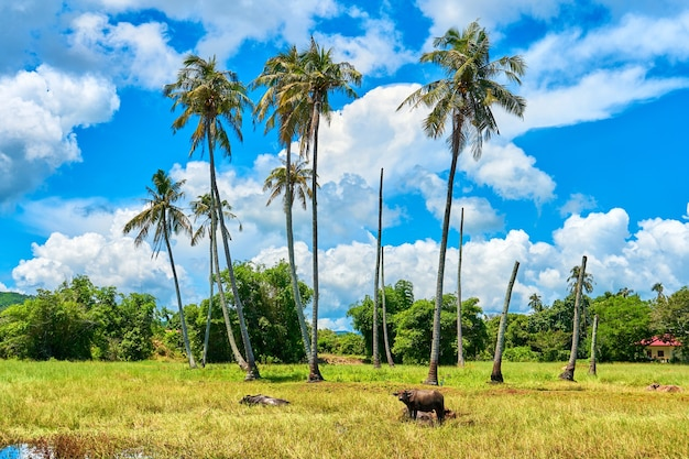 Buffalo grazes on a lawn with palm trees. a bright sunny day. beautiful cloudy sky