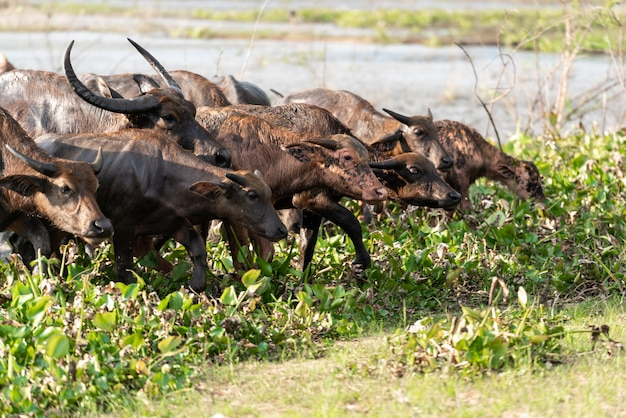 Buffalo group going out from a river
