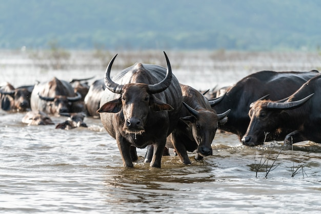 Buffalo group in a river