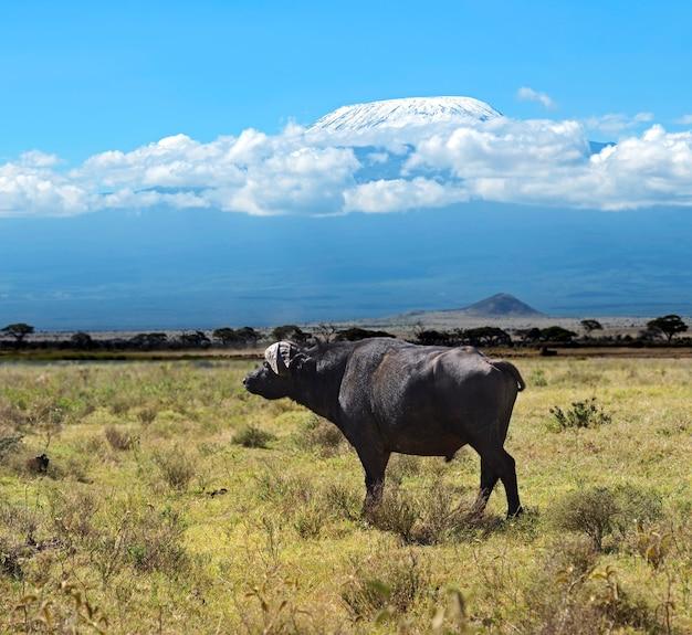 アフリカのサバンナの野生生物生息地のバッファロー Premium写真